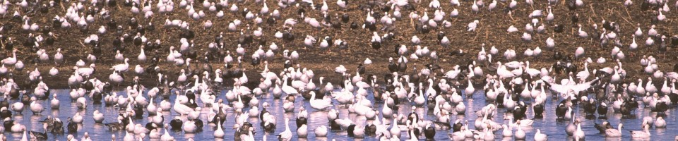 snow geese resting in and near sheet water